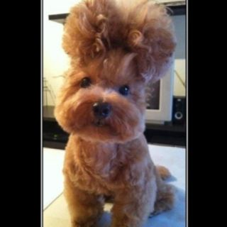 Cool Hairstyle For Your Dog I Love The Beehive Cute Animals
