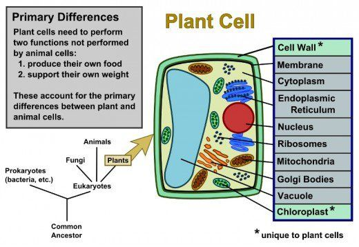 Plant Cells Vs Animal Cells With Diagrams Diagram Plant Cell