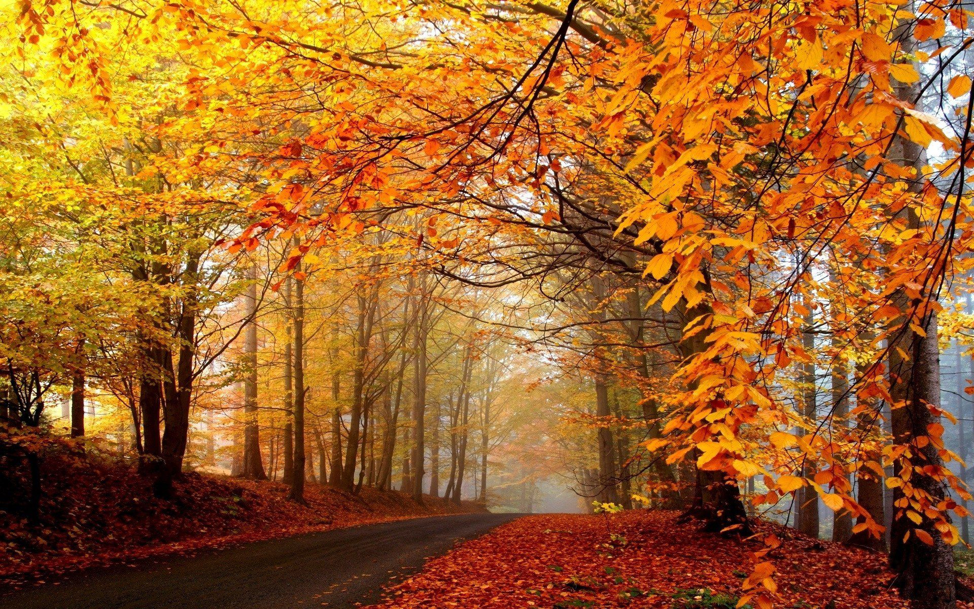 tall and prosperous trees leaves turning yellow what an uncomparable scene autumn natural scenery wallpaper