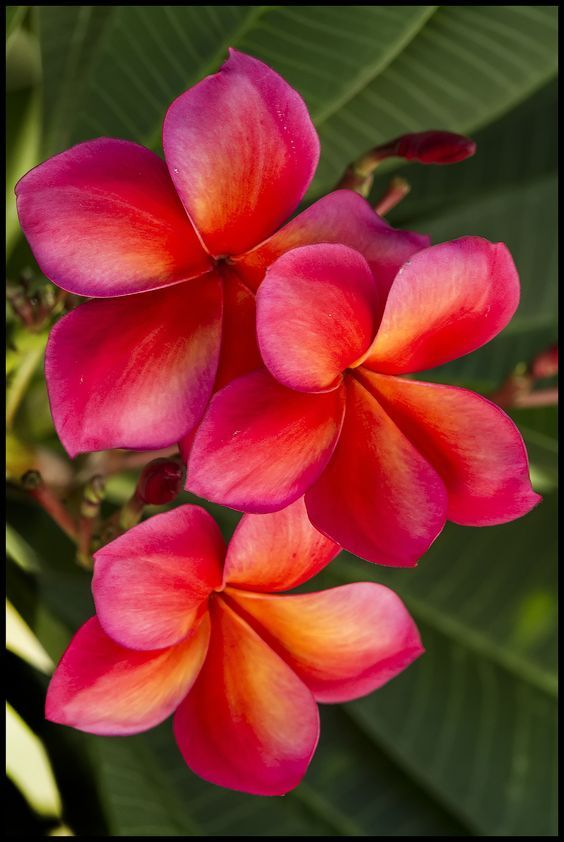 Plumeria Plant Red Shades (Potted)