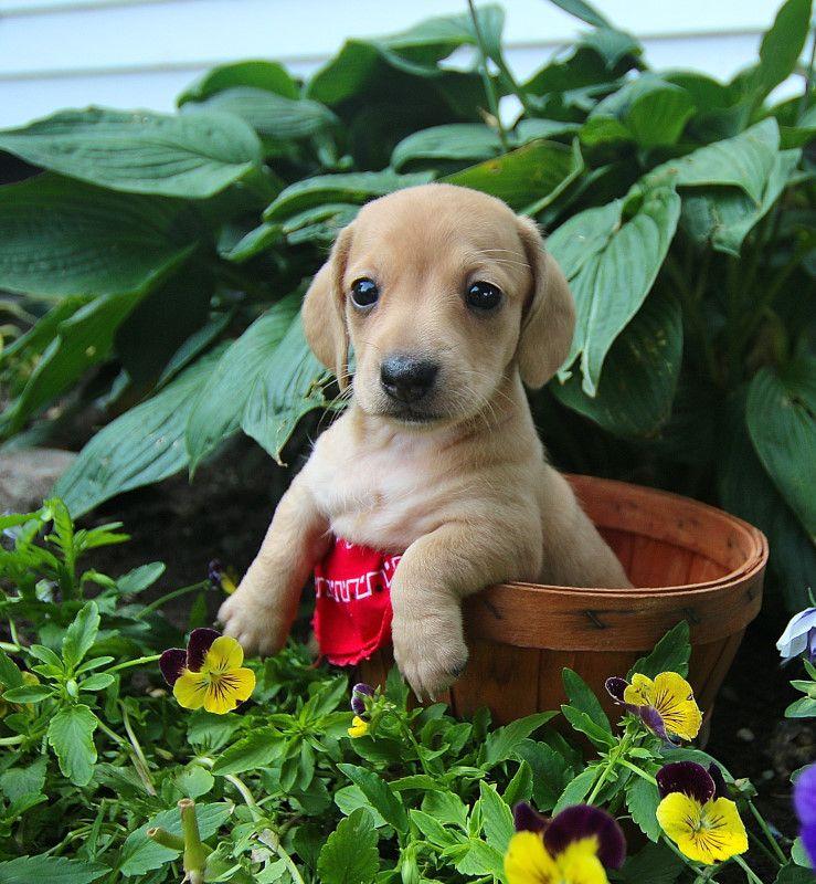 Puppies for Sale Mini puppies, Dog breeder, Puppies