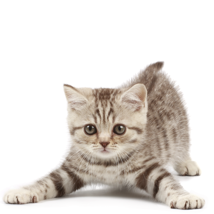 Kitten Package1 Png 700 700 Kitten Kittens Cutest Cat Earrings