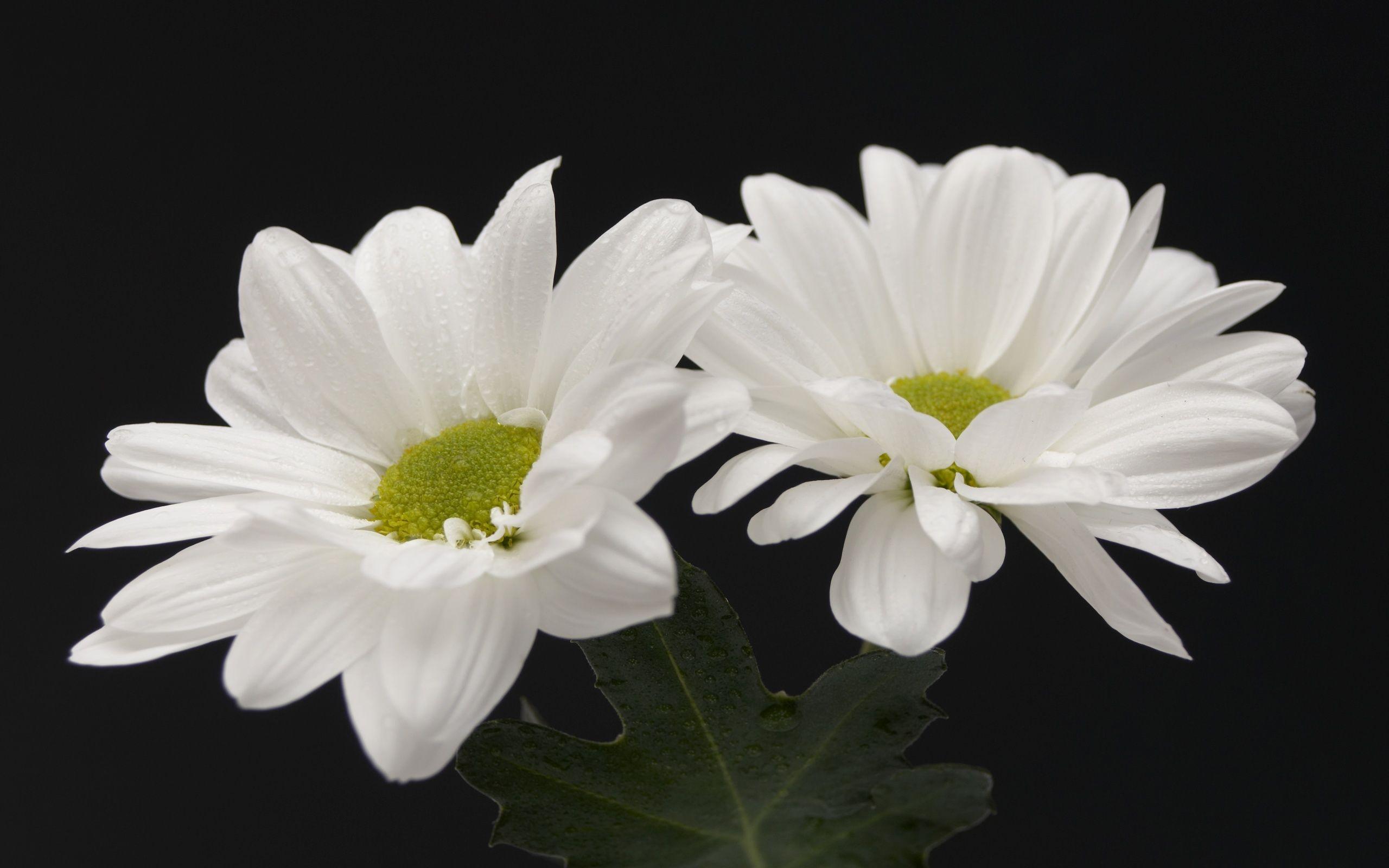Flowers clip art 2560x1600 two white flowers desktop pc and mac flowers clip art 2560x1600 two white flowers desktop pc and mac wallpaper mightylinksfo Gallery