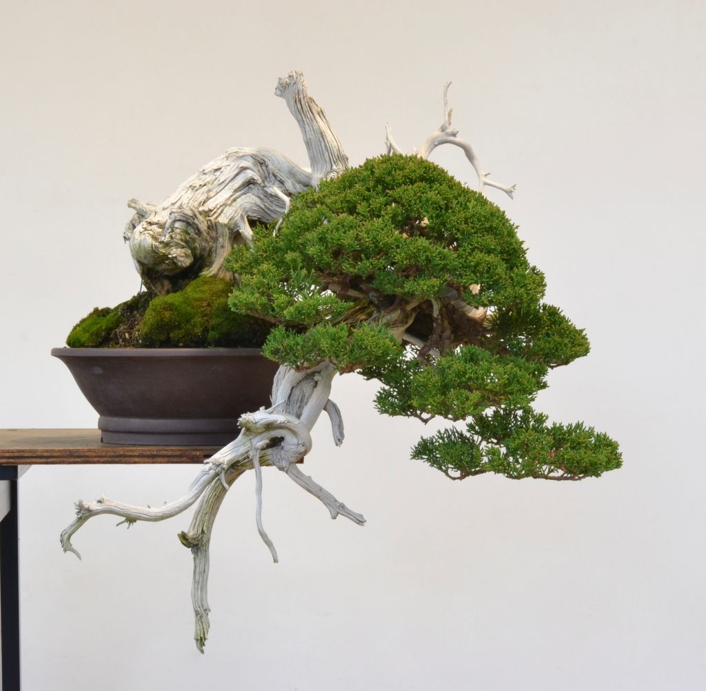 Day Of Yikes Grafted Rocky Mountain Juniper Styling Bonsai Tree Types Bonsai Soil Juniper Bonsai