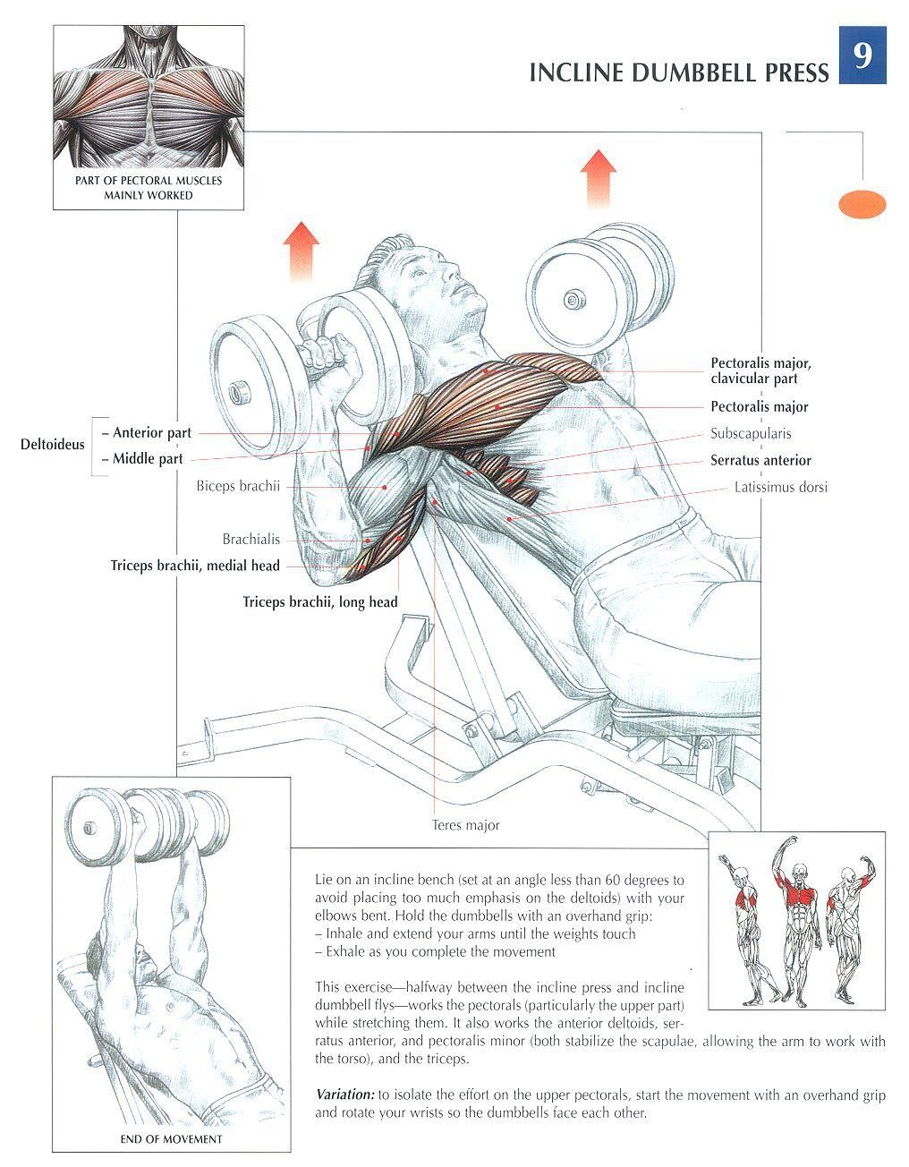 Incline Dumbbell Press Health Fitness Exercises Diagrams Pin Curl Diagram Body Muscles Gym Bodybuilding Chest