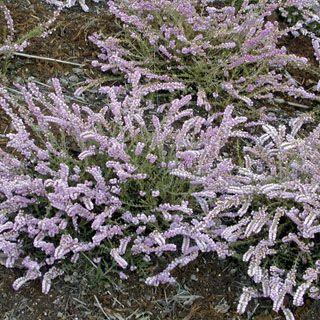 The true Scotch Heather, with silvery-pink blooms over a long season on groundcover plants.