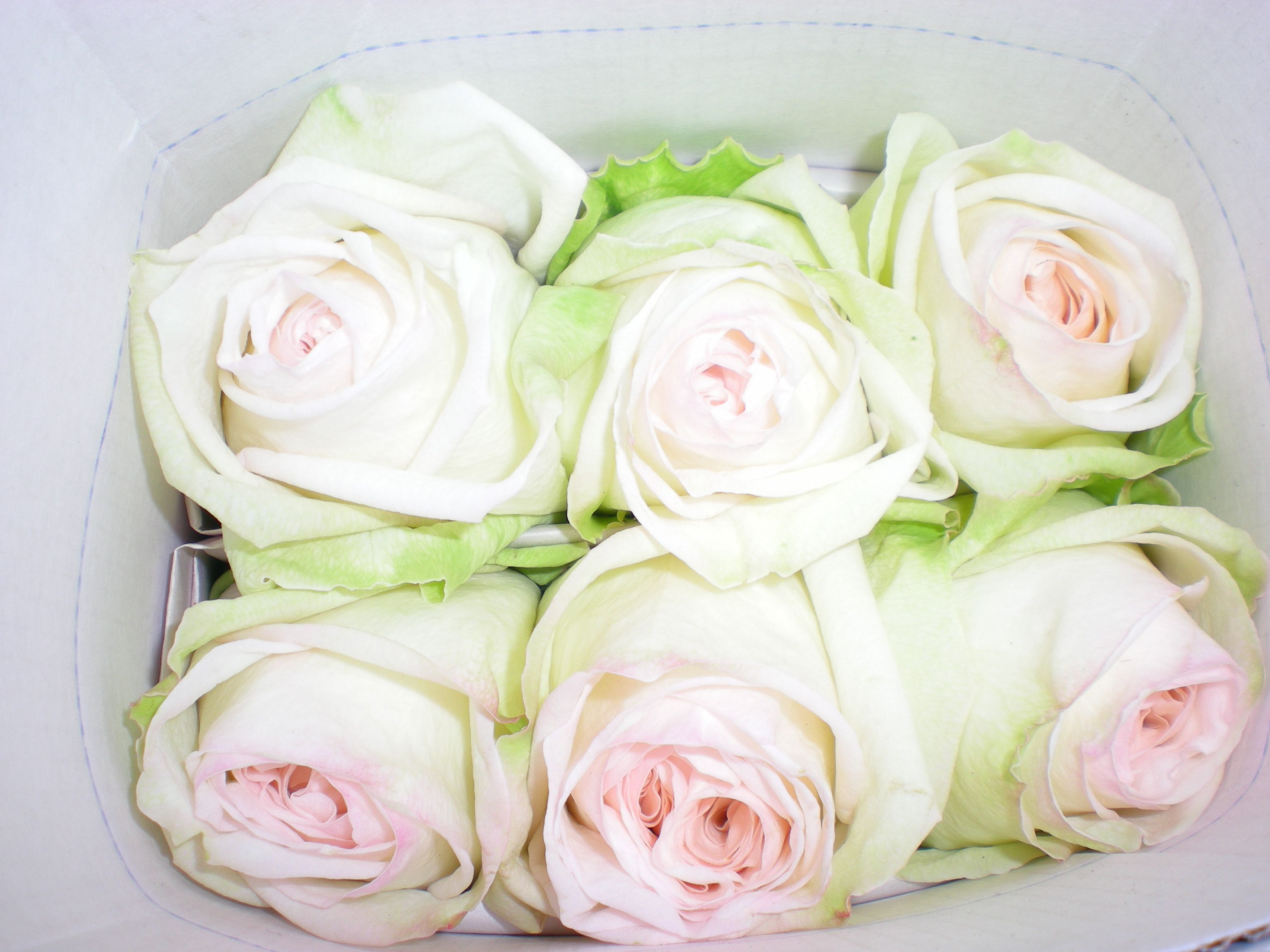 White Ou0027Hara Garden Rose U003cu003c How They Look When They Arrive At The