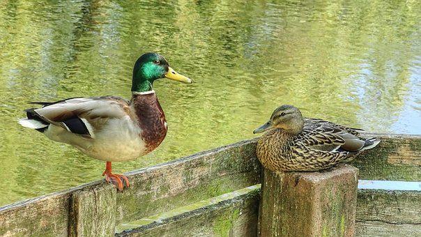 ducks pair of ducks