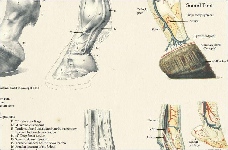 Horse Foot Anatomy Laminated Poster | Anatomy | Pinterest | Foot ...