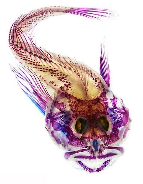manta-artedius harringtoni