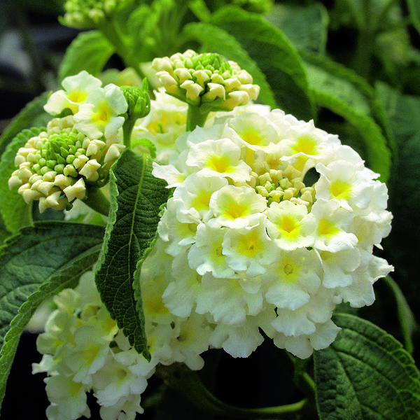 Lantana Calippo White Gardening Lantana Plant Plants Cottage