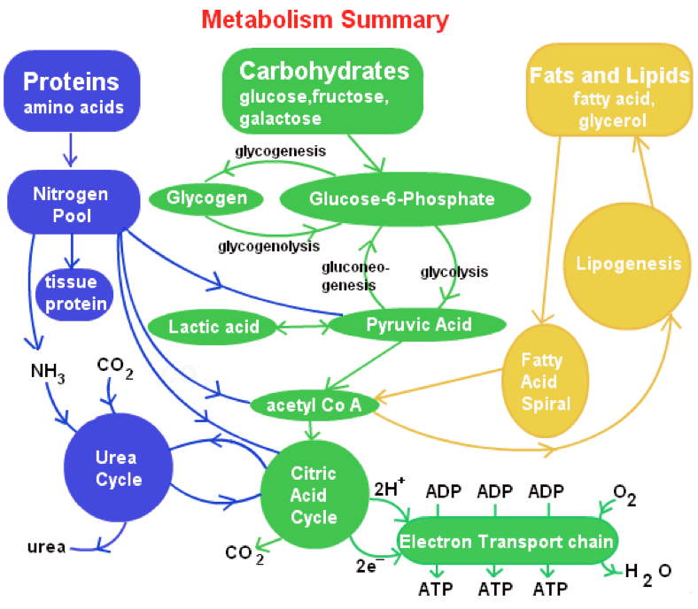 The Science Behind Fat Metabolism | Perfectly Paleo-Keto ...
