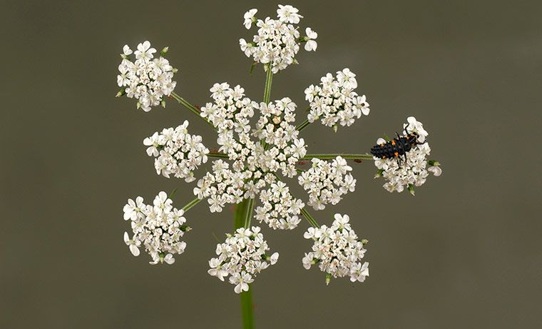 Seven-spot ladybird (Coccinella septempunctata) larvae on a fool's parsley flower umbel. Photograph: Nigel Cattlin/Alamy