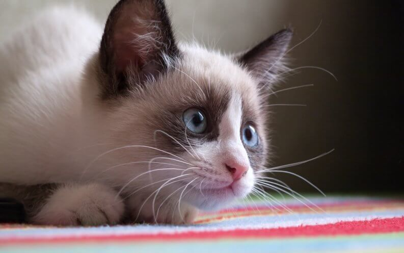 The Most Expensive Cat Breed In The World Will Stun You Snowshoe Cat Cat Breeds Cat Insurance
