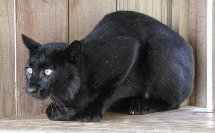 Melanism Can Create All Black Animals That Are So Beautiful It S Hard To Believe They Re Real Here Black Bobcat Melanistic Animals Melanistic Black Bobcat