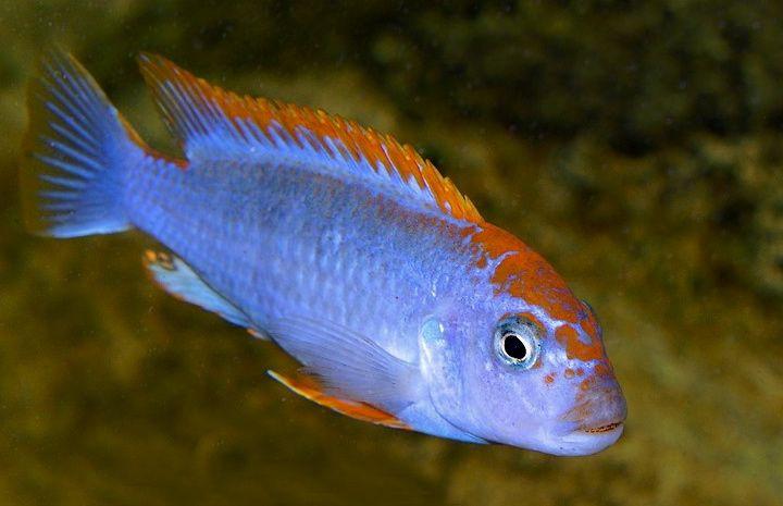 Pseudotropheus Sp Perspicax Orange Cap Ndumbi Reef Pombo Reef Red Top Ndumbi 4 Male African Cichlids Cichlids Fish