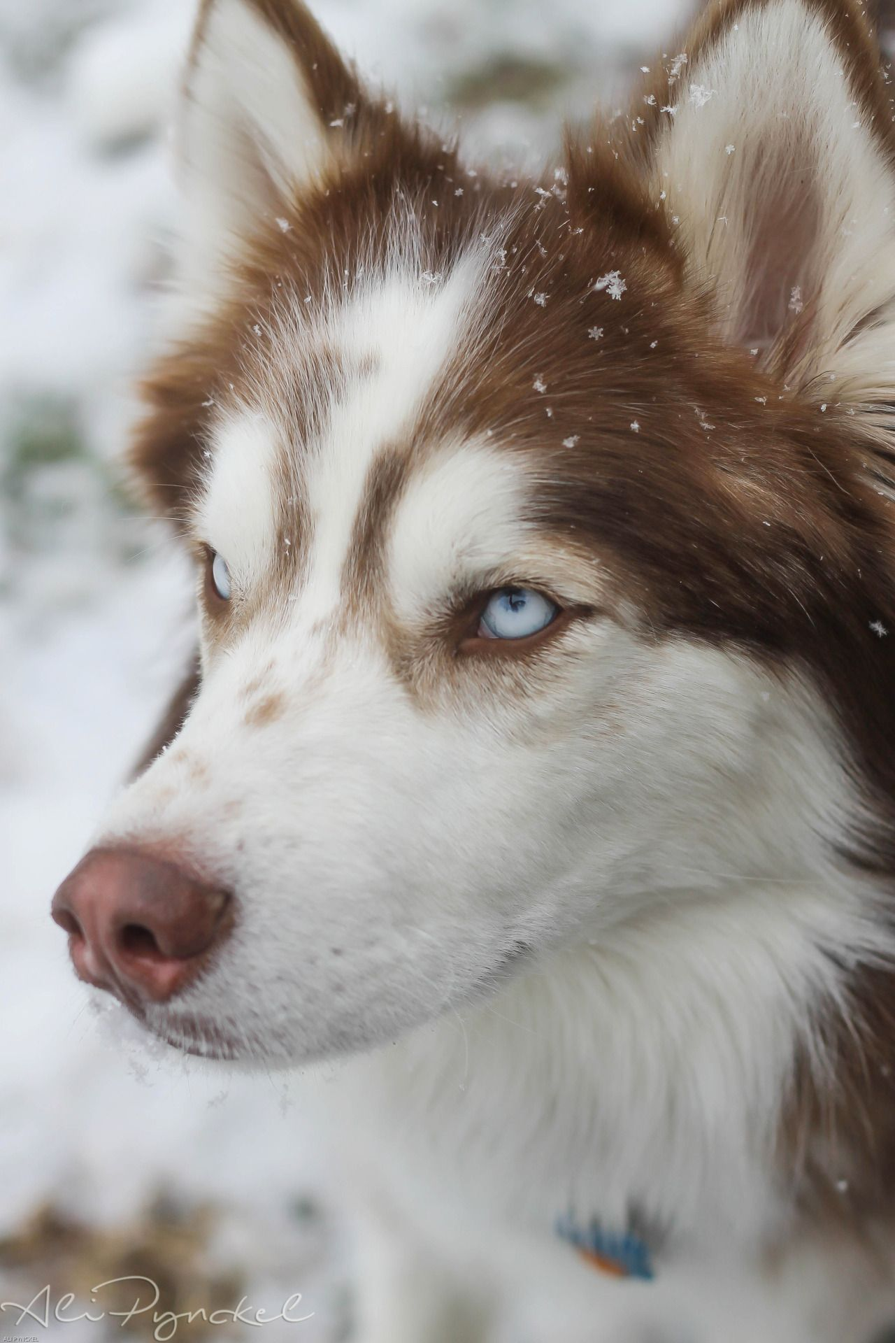 Husky This Is Like My Dog Mitter Kit He Is Solid Red Husky And