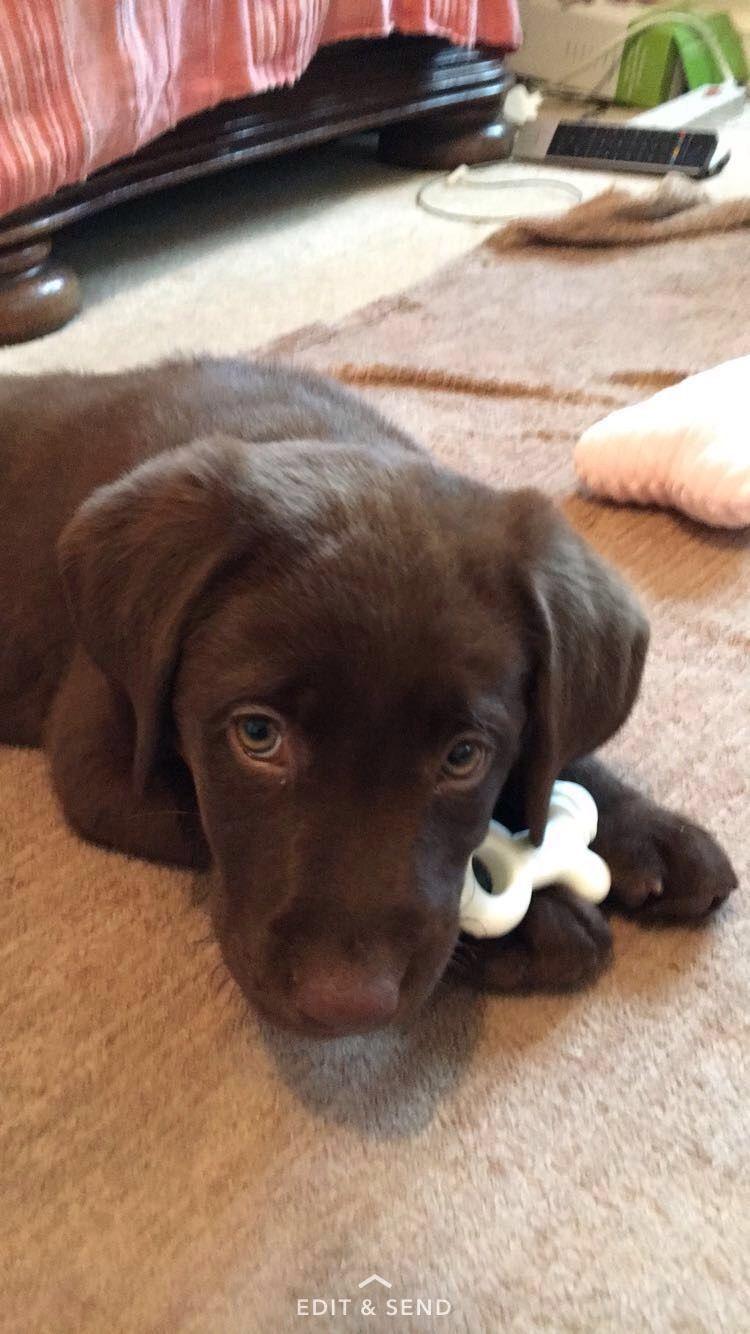 My adorable 10 week old puppy chocolatelab puppy