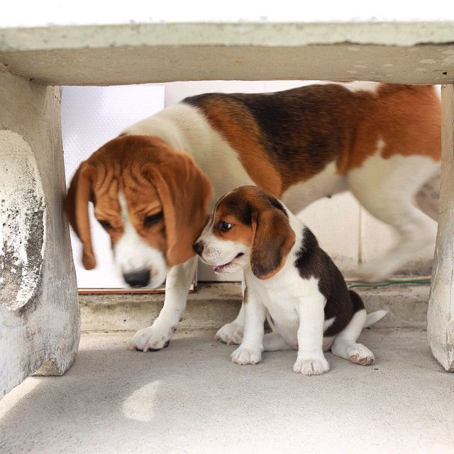 Easy Simply Happy The Beagle On Instagram Me And Simply Had So Much Fun At The 1st Day And It Will Be Forever Beagle Puppy Beagle Dog Breeds