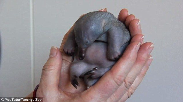 A Tiny Month Old Echidna Puggle Is Fed Milk At Taronga Zoo In