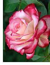 Growing Roses cjwimmer5