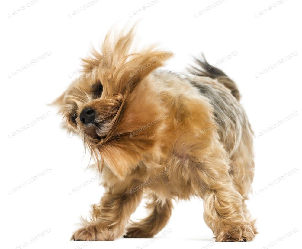 Yorkshire Terrier Standing Shaking 6 Years Old Isolated On