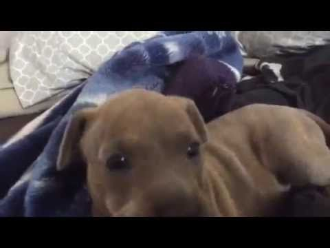 e701d18e8a Puppy Flawlessly Mimics His Human With
