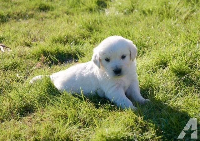 Akc Full English Cream Golden Retriever Puppies Champion Heritage