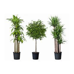 Big plant for dining room TROPISK, Potted plant, tropical plant, assorted species plants