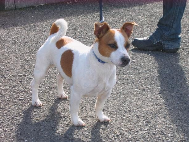 Toby (Jack Russell Terrier Dog)   Rehoming Scottish SPCA