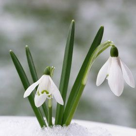 La Quaker Homage To Snow Drops And Other Early Spring Flowers Early Spring Flowers Spring Flowers Winter Garden