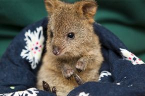 Baby Quokka Cutest Paw Cute Animals Cute Wild Animals Quokka