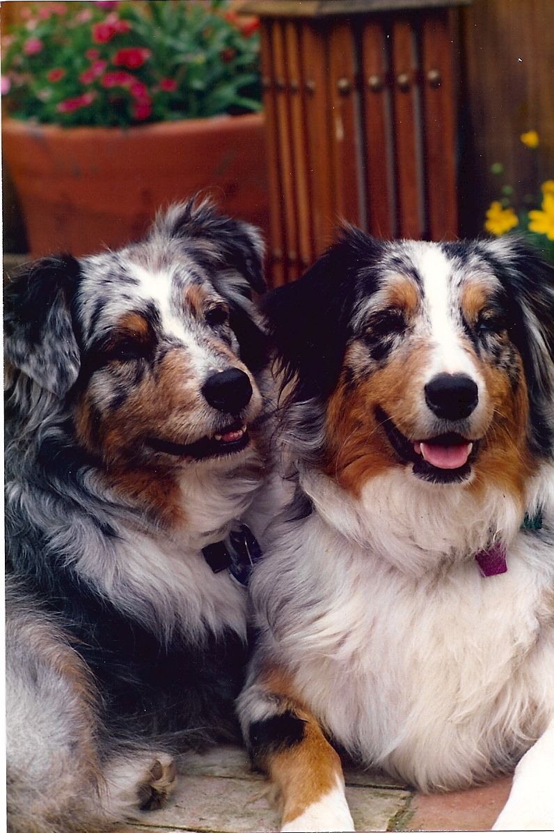 Abbey & Gracie (Mom & Daughter) Australian shepherd