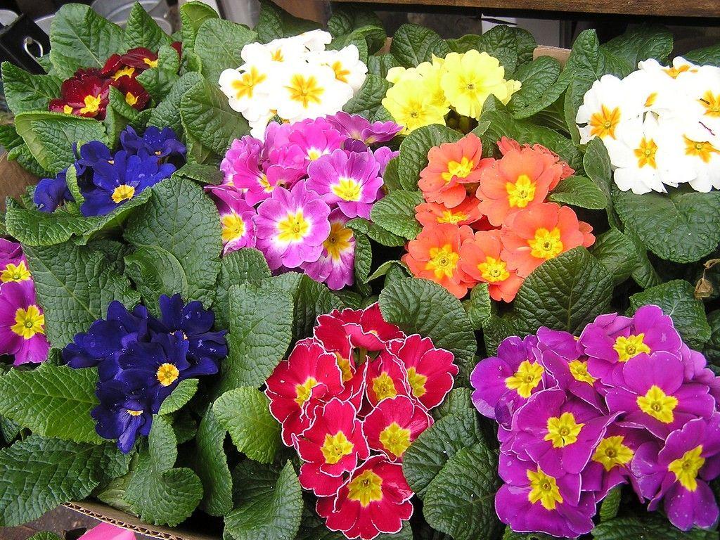 the primrose houseplant how to grow primrose indoors primroses