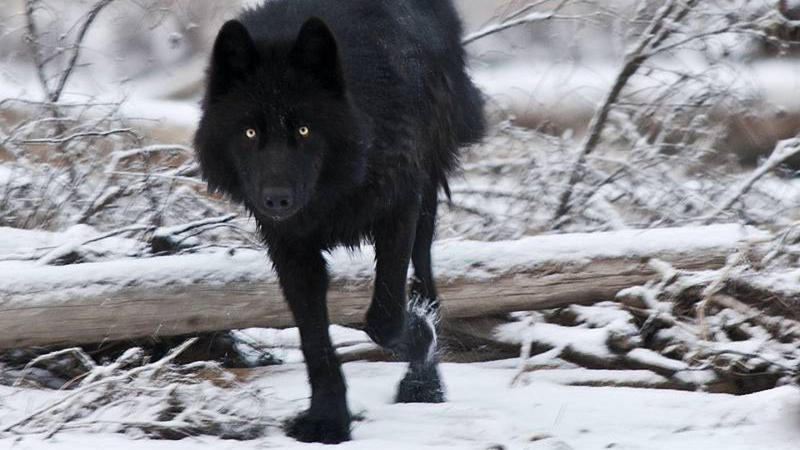 Black Wolf Wallpaper Hd Resolution With Hd Wallpaper Resolution