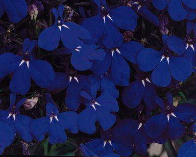 Lobelia Riviera Midnight Blue Blue Blue Garden Plants Garden