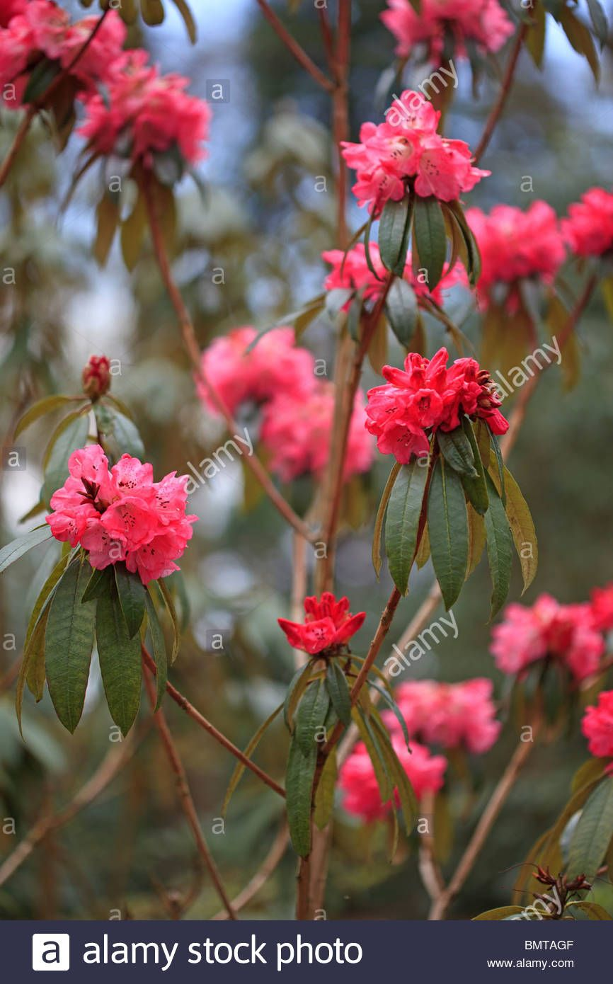 Download This Stock Image Deep Pink Rhododendron Arboreum Mh18 Photographed At Rhs Harlow Carr Bmtagf From Alamy S Library O Rhododendron Stock Photos Photo