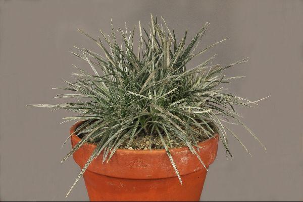Celmisia astelifolia