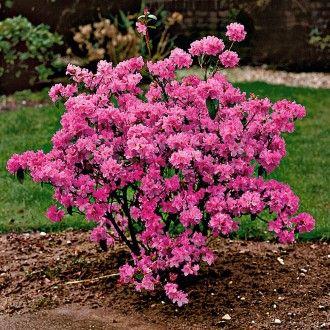 Winterbluhende Alpenrose Pflanzen Straucher Garten Bepflanzung