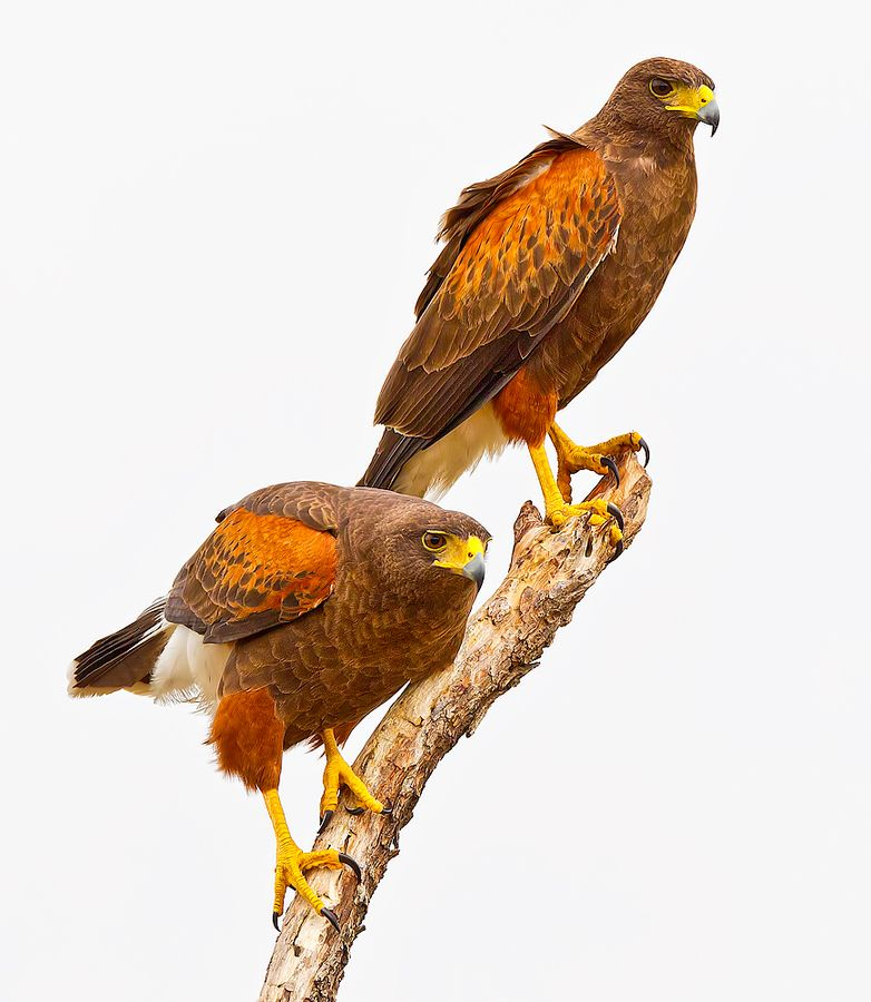 Harris Hawks Parabuteo Unicinctus Pet Birds Raptors Bird Beautiful Birds