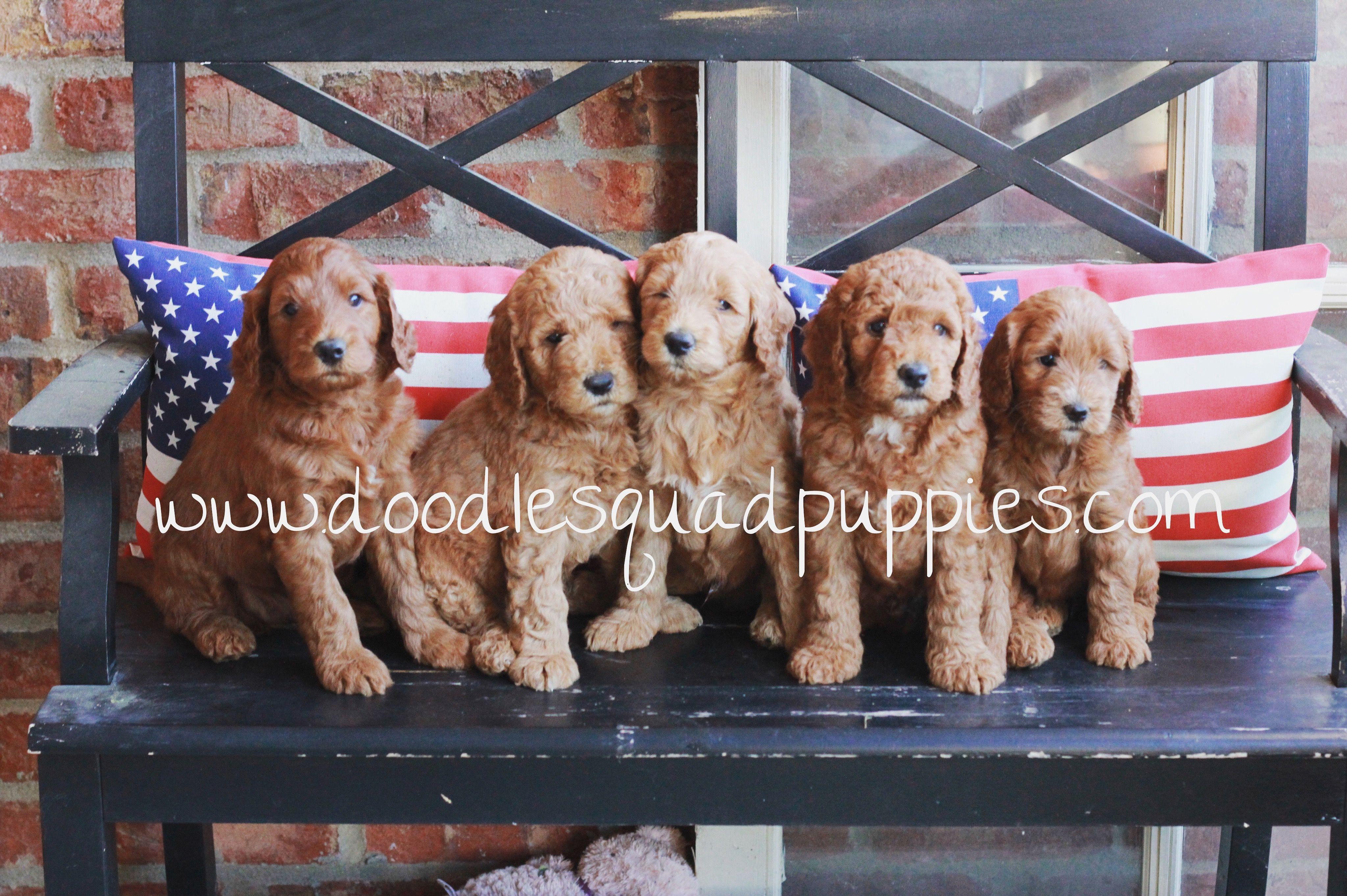 Mini Goldendoodles Goldendoodle Puppy Goldendoodle Puppy For Sale Puppies