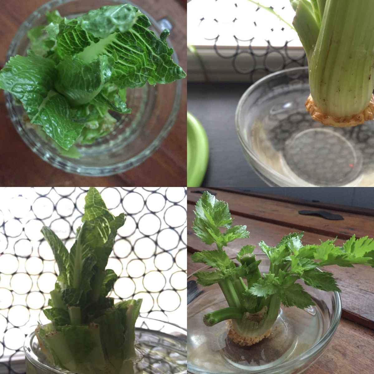 Regrow Lettuce And Celery From Scraps