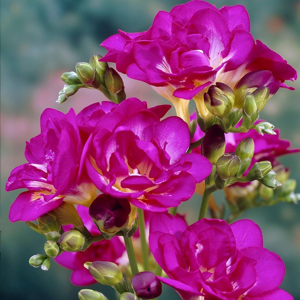 Van Zyverden Freesias Bulbs Purple Rain Set Of 25 21484 In 2020 Flowers Bulb Flowers Purple Rain