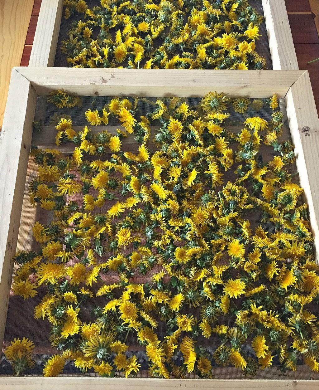 Dandelion Salve Recipe Herbalism Medicinal Plants Herbal Salves