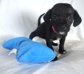 Adopt Jungle On Chihuahua Chihuahua Dogs Beautiful Dogs