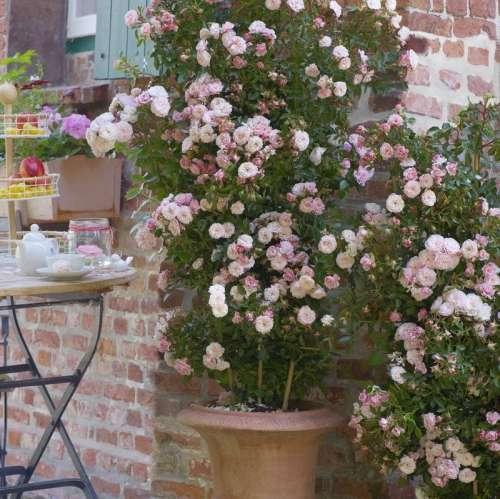 Roza Pnaca Alina Climbing Roses Rose Beautiful Roses