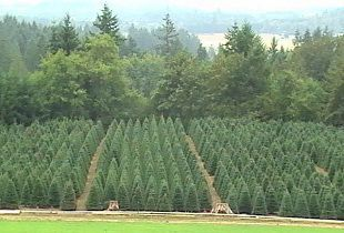 Pin On Holiday Tree Farms In The Tualatin Valley