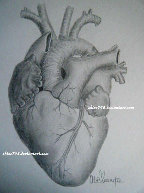 drawings of human hearts | to draw!! | pinterest | human heart and, Muscles