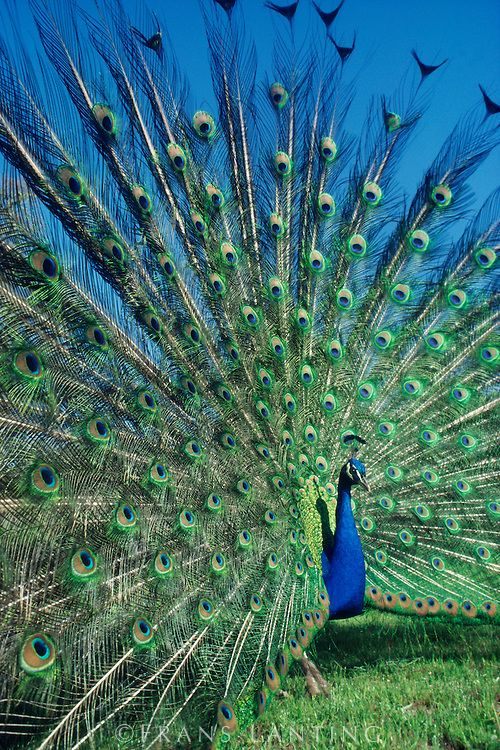Peacock male displaying, Pavo cristatus, Central America