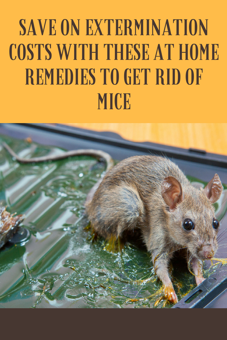 Save On Extermination Costs With These At Home Remedies To Get Rid Of Mice Getting Rid Of Mice Getting Rid Of Rats Remedies